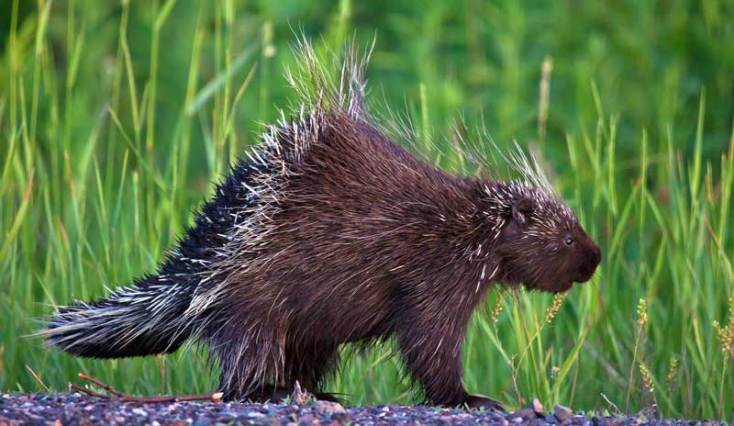 Animal Symbolism Porcupine Meaning On Whats Your Sign
