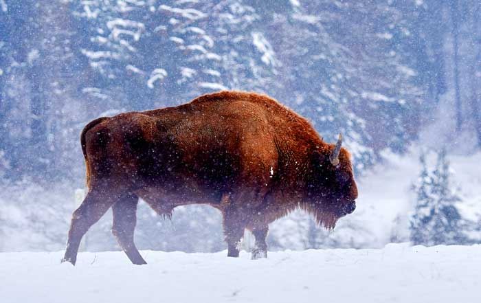 Symbolic Buffalo Meaning and More on Whats-Your-Sign com