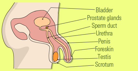 parts-and-functions-of-the-male-reproductive-system