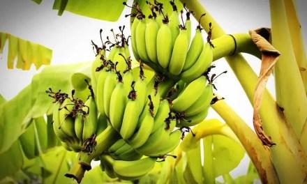 20 Incredible Benefits Of Eating Bananas
