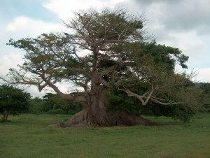 The ceiba tree is reputed to be the home of Xtabay
