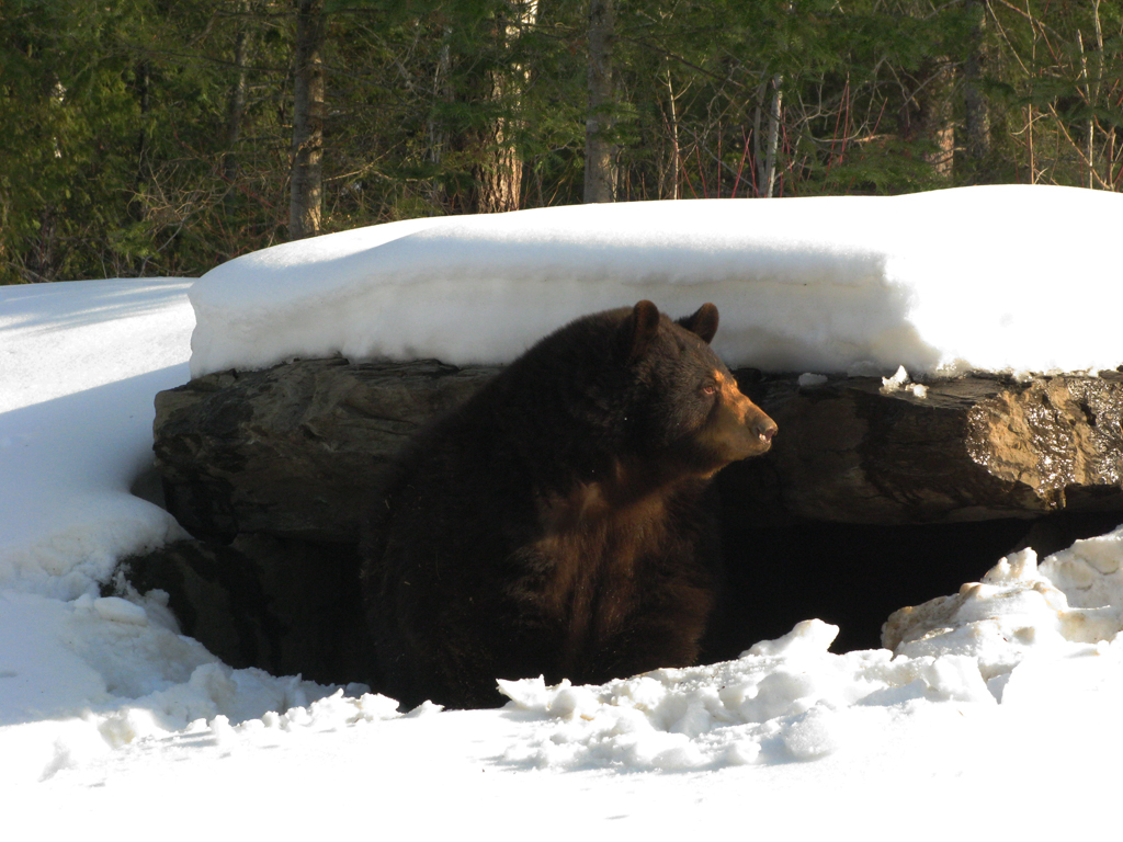 Sleeping with (and filming) hibernating Arctic Bears during the Winter #noporno