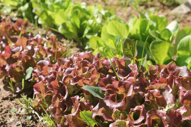 Part of our red leaf lettuce and regular lettuce crop. It'd grow right back after snipping!