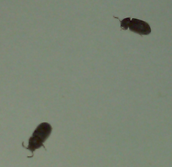 Bedroom Insects Alfa Img Showing Black Bugs In  Small Brown Flying Bugs In Bedroom  Bedroom. Tiny Flying Bugs