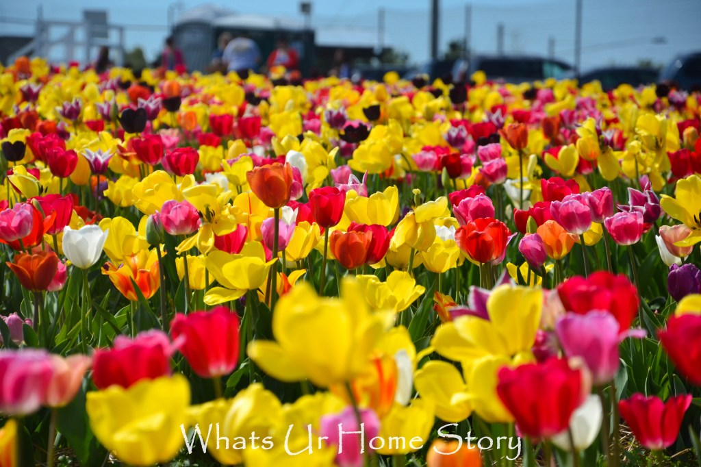 Festival of Tulips @ Burnside Farms
