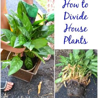 how to divide indoor plants Whats Ur Home Story