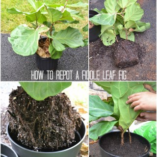 how to repot a Fiddle Leaf Fig