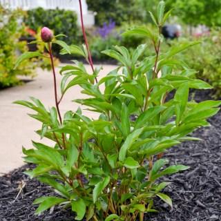 General MacMahon Peony plant