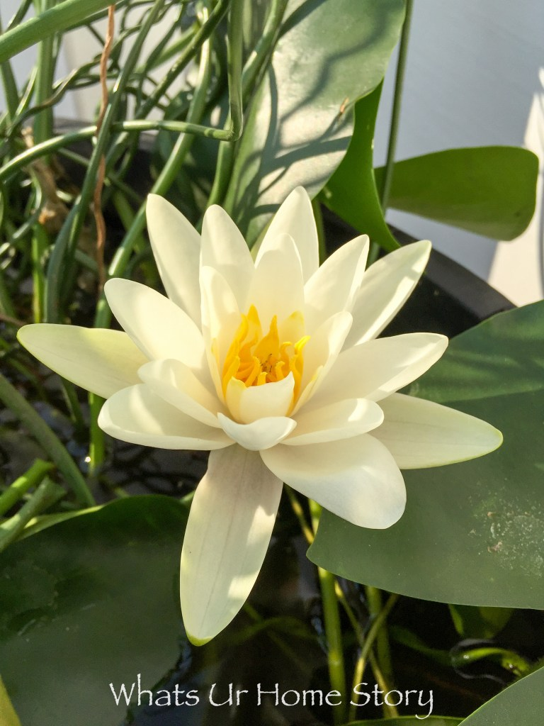 A Water Lily, Trademark, First Harvest, and a lot more