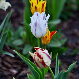 Rembrandt Tulips mix - Early Spring Flowers