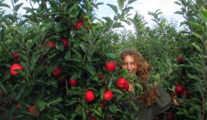 Apple Picking in Ipswich With Rachel