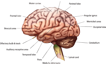 Understanding The Human Brain