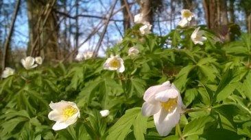 Wood anemones on the Tarka Trail