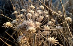 JFrosted angelica head at Wheatland Farm's Devon eco lodges, January 2017