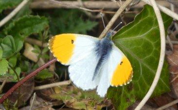 Orange tip butterfly, male