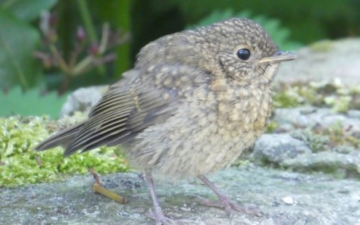 Fledgling robin perched on a wall