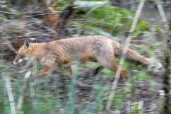Running fox, Wheatland Farm's Devon Eco Lodges