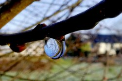 Water droplet from melting frost, Wheatland Farm Devon