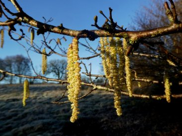 Hazel catkins at Wheatland Farm's Devon Eco Lodges