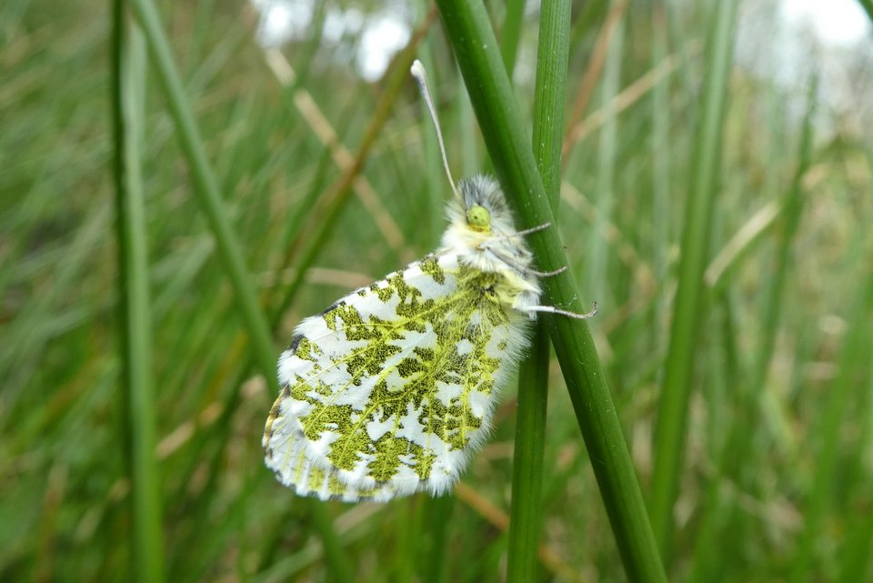 Orange tip butterfly roosting on rushes