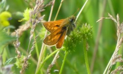 Large skipper, Wheatland Farm Devon