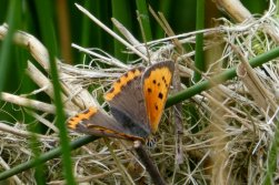 Small copper, Wheatland Farm Devon