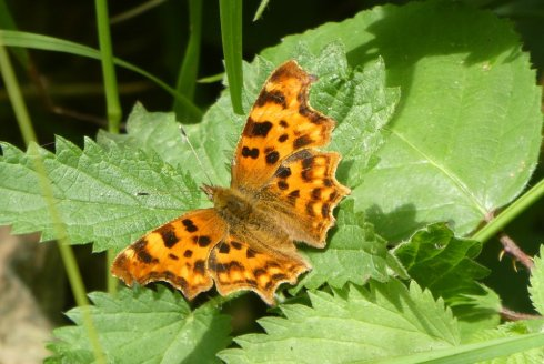 Comma butterfly, Wheatland Farm
