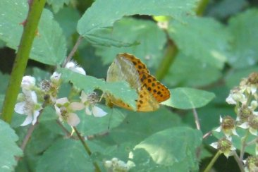 silver-washed-fritillary-butterflyb-wheatland-farm-devonSilver washed fritillary butterfly, showing underside, Wheatland Farm