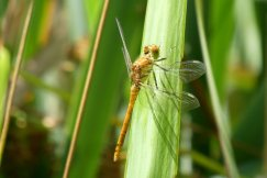 common-darter-wheatland-farm-devon-eco-lodges
