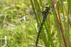 golden-ringed-dragonfly-wheatland-farm-eco-lodge-devon