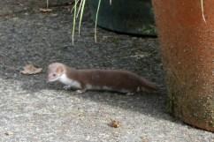 Weasel by the back door of Wheatland Farm, Devon