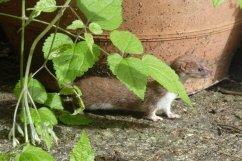 A weasel by the farmhouse door, Wheatland Farm Devon