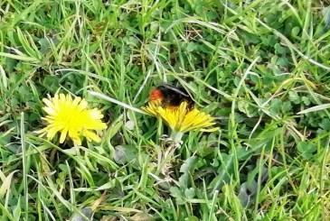 Red tailed bumblebee queen on hawksbit at Wheatland Farm, Devon
