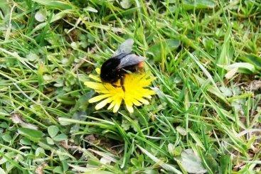 Red tailed bumblebee queen at Wheatland Farm, Devon