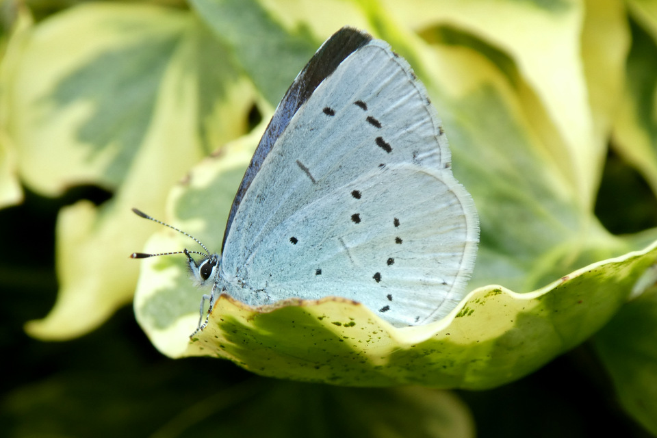 Holly Blue butterfly on the ivy at Otter Cottage, Wheatland Farm, Devon