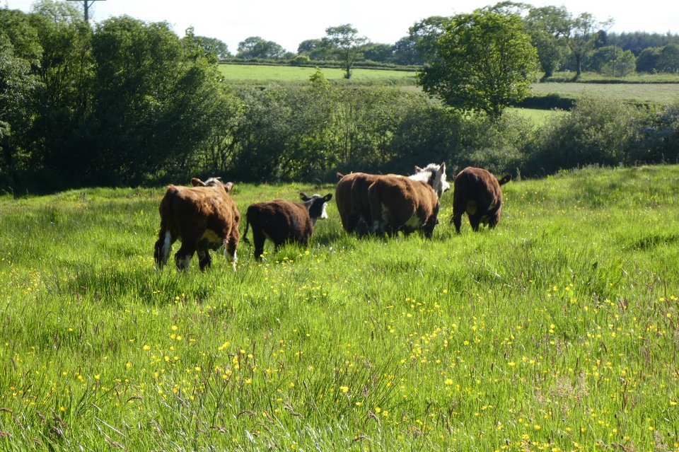 Shows the cows on Lower Newland Moor at Wheatland Farm, Devon