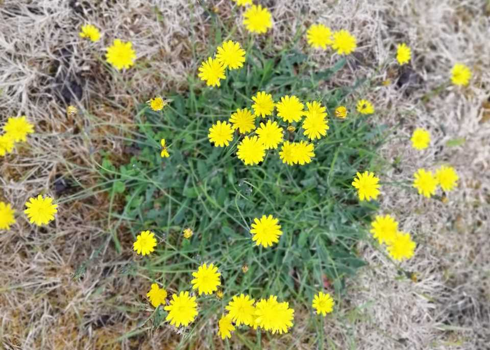 Shows hawkbit flowering amid dry grass at Wheatland Farm, Devon