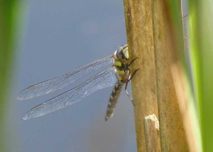 Shows a migrant hawker edging away from the viewer, around its perch