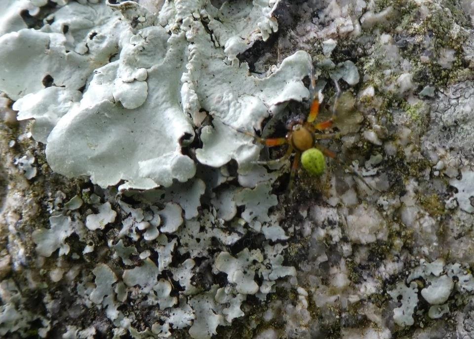 Shows a small green spider on lichen at Wheatland Farm, Devon