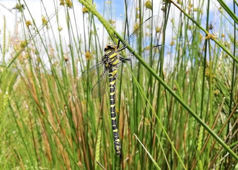 Shows a golden ringed dragonfly resting in rushes at Wheatland Farm, Devon
