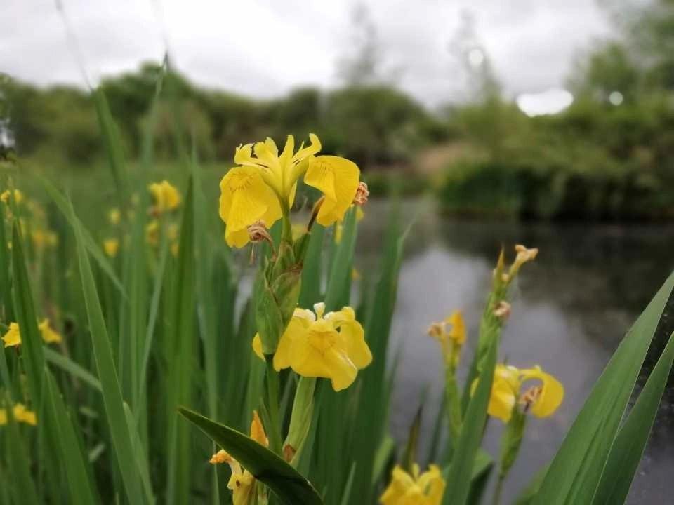 Yellow flag iris in flower at Wheatland Farm's wildlife pond