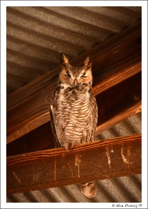 The Great Horned Owl...what a beauty!