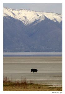 A lone bison on the beach at Antelope Island