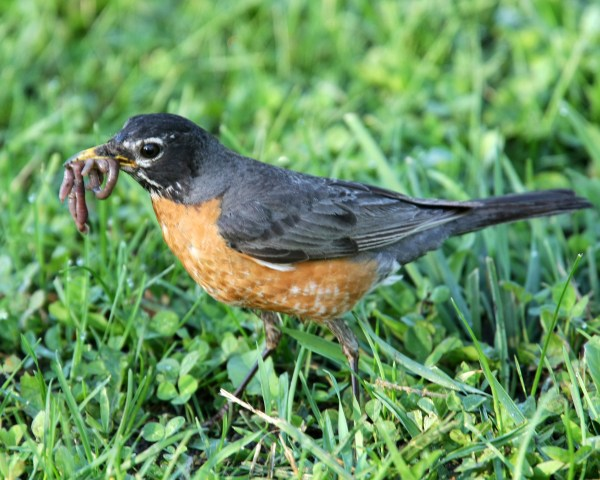 American Robin with earthworm