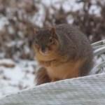 Cold fox squirrel