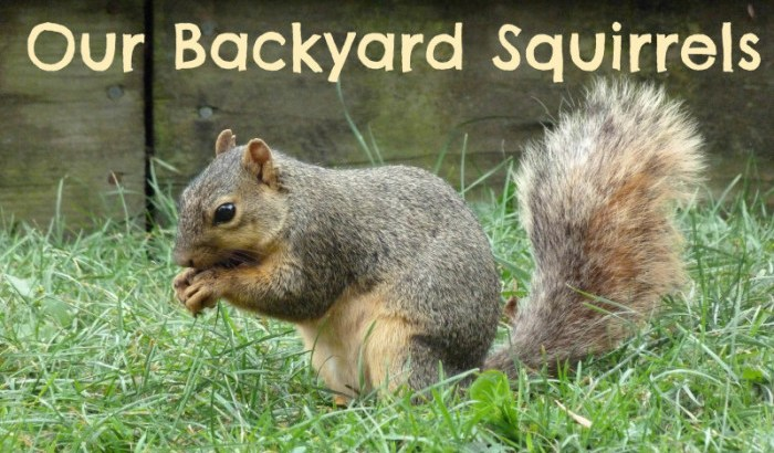 Fox squirrel in our backyard