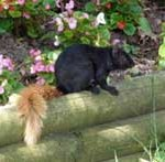Black squirrel with blonde tail