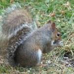 Gray squirrel in back yard
