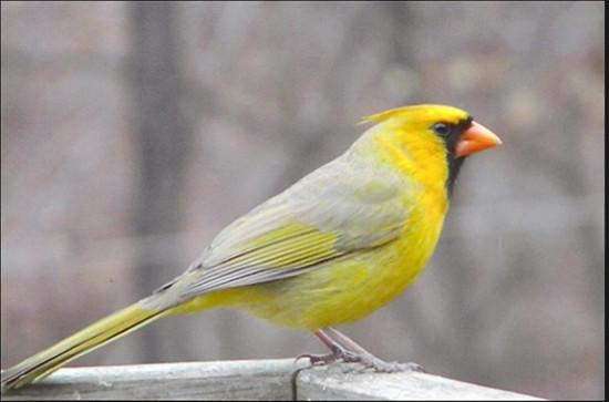 Xanthochromic cardinal