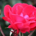 Knock-Out Roses – How to Grow